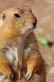 Prairie Dog 5