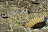Western Diamondback Rattlesnake 2