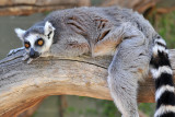 Ringtail Lemur 2