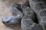 Arizona Black Rattlesnake 1