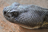 Arizona Black Rattlesnake 2