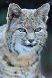 Bobcat 6