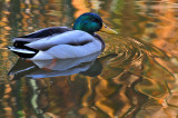Duck Reflection 2