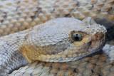 Grand Canyon Rattlesnake 1