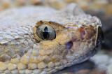 Grand Canyon Rattlesnake 2