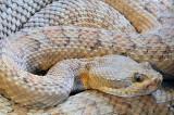 Grand Canyon Rattlesnake 3