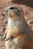Prairie Dog 8