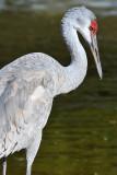 Sandhill Crane 4