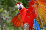 Scarlett Macaw 1