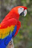 Scarlett Macaw 2