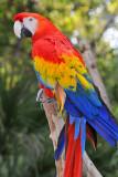 Scarlett Macaw 3