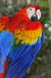 Scarlett Macaw 4