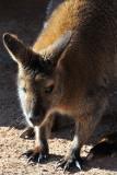 Wallaby 3