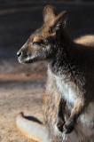 Wallaby 4