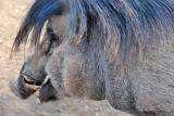 Warty Pig 1