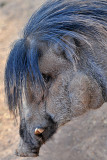 Warty Pig 2