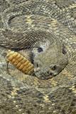 Western Diamondback Rattlesnake 8