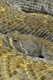 Western Diamondback Rattlesnake 9