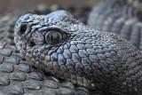 Arizona Black Rattlesnake 4
