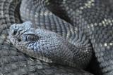 Arizona Black Rattlesnake 5