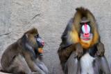 Baboons - Mandrill Male & Female