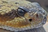 Black Tail Rattlesnake