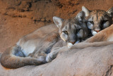 Mountain Lions (Two-headed)