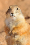 Prairie Dog 10