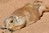 Prairie Dog 12