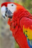 Scarlett Macaw 5