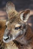 Wallaby 5