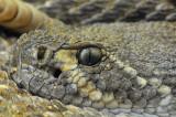Western Diamondback Rattlesnake 13