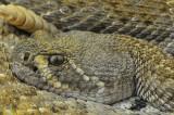 Western Diamondback Rattlesnake 14