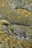 Western Diamondback Rattlesnake 15