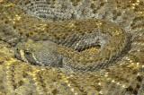 Western Diamondback Rattlesnake 16