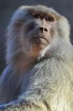 Baboon - Hamadryus Female