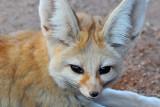 Fennel Fox2
