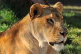 Lion Female 2