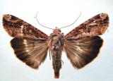9637.1 – Magusa divaricata (Rare in Canada)Migrator/Migrateur