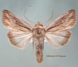 10449 Leucania insueta