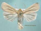 10436 Aletia oxygale