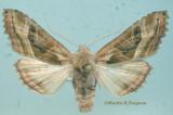 932291 (9546) Phlogophora iris