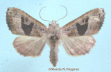 932292 (9547) Phlogophora periculosa form v-brunneum