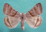 930923 (8738) Caenurgira crassiuscula