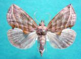 930612 (8536) Calyptra canadensis