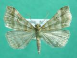 930487 (8338) Phalaenophana pyramusalis
