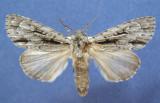 931455 (9238) Acronicta lobeliae- Rare