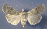 10705 Euxoa(Longivesica) messoria