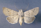 10714 Euxoa(Pleonectopoda)quebecensis