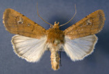 10738 Euxoa(Palaeoeuxoa)mimallonis (Localized & Rare)